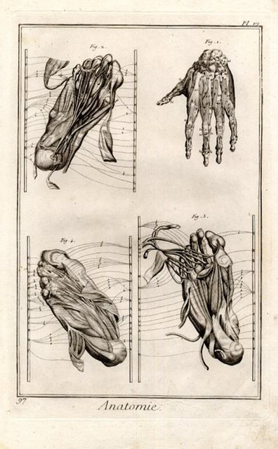 Albinus, Bernhard Siegfried Muscles des piés & des mains, d\' après ...
