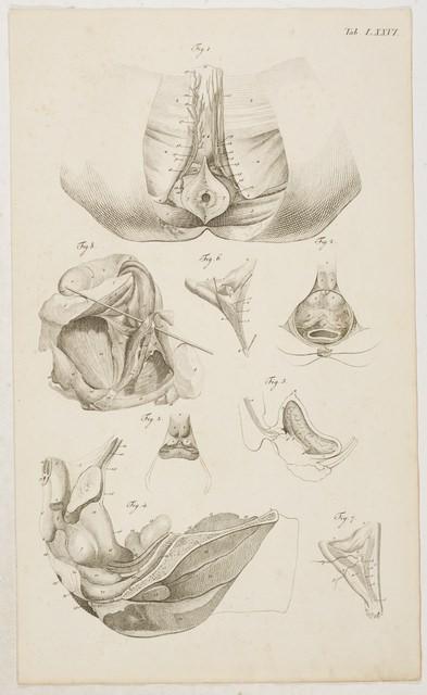 Loder, Justus Christian v. Anatomische Tafeln: Die Niere, die ...