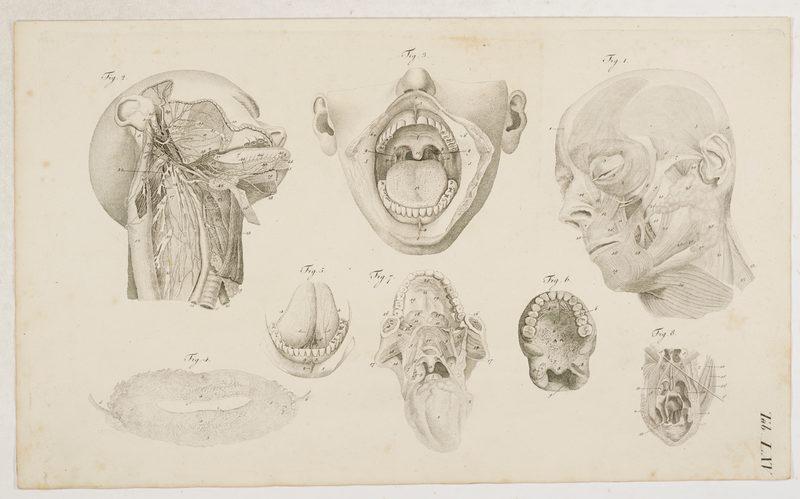 Loder, Justus Christian v. Anatomische Tafeln: Kopf - Die Ohrdrüser ...