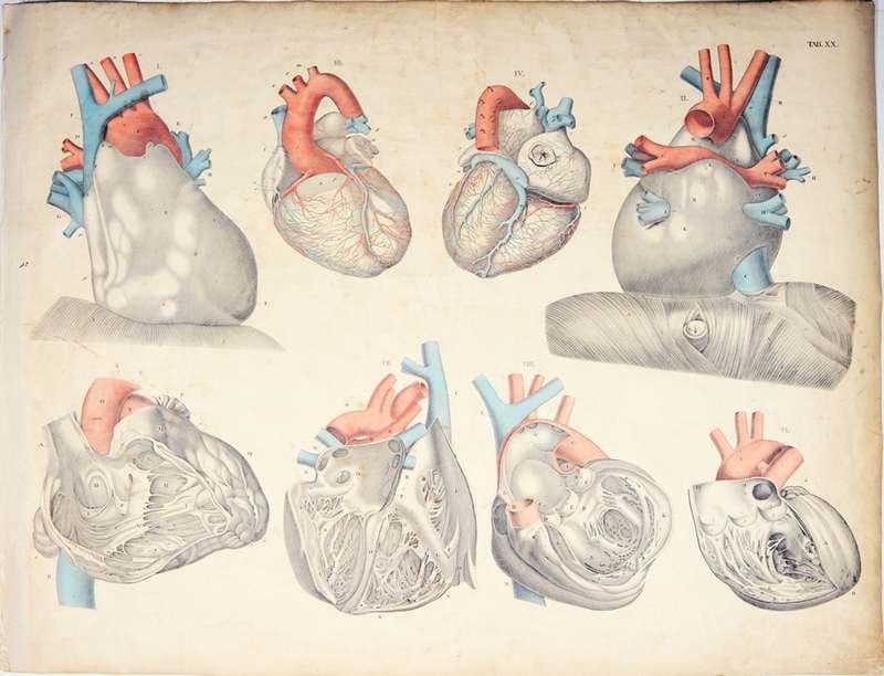 Weber, Moritz Ignaz Anatomischer Atlas, 20.Tafel: Die Anatomie des ...