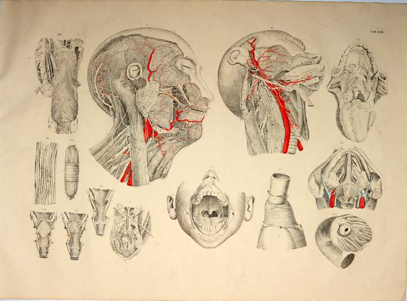 Weber, Moritz Ignaz Anatomischer Atlas, 22.Tafel: Anatomie der ...